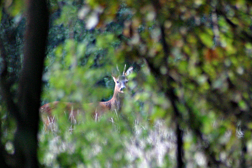 Photo of a deer in Somme